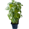 Local Organic Potted Basil